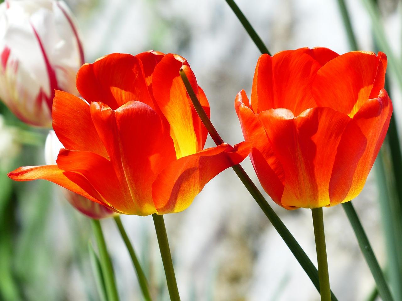 tulips-357773_1280